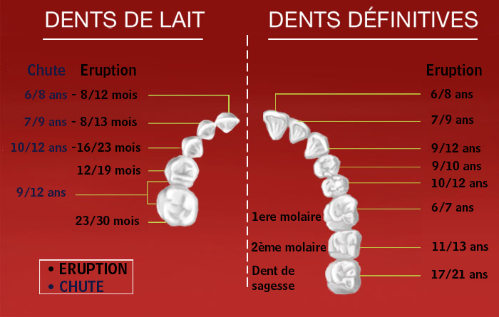 L'éruption des dents